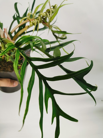 Philodendron tortum