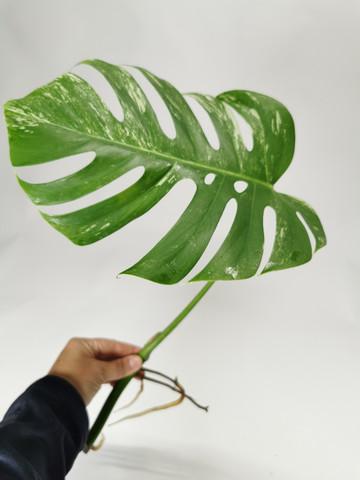 Monstera variegata cutting
