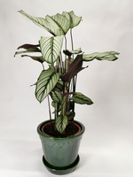 Calathea prayer plant Whitestar