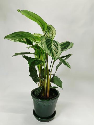 Calathea prayer plant Gecko