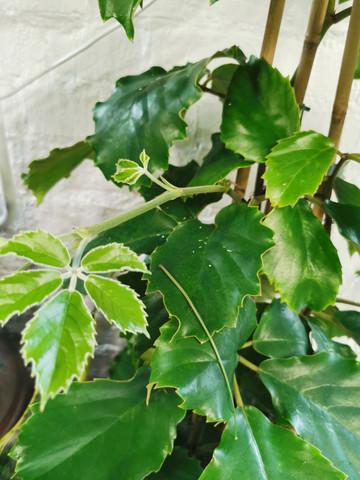 Chestnut vine