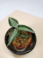 Jewel Orchid Aspidogyne