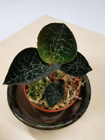 Jewel Orchid Anoectochilus