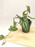 Piper sylvaticum
