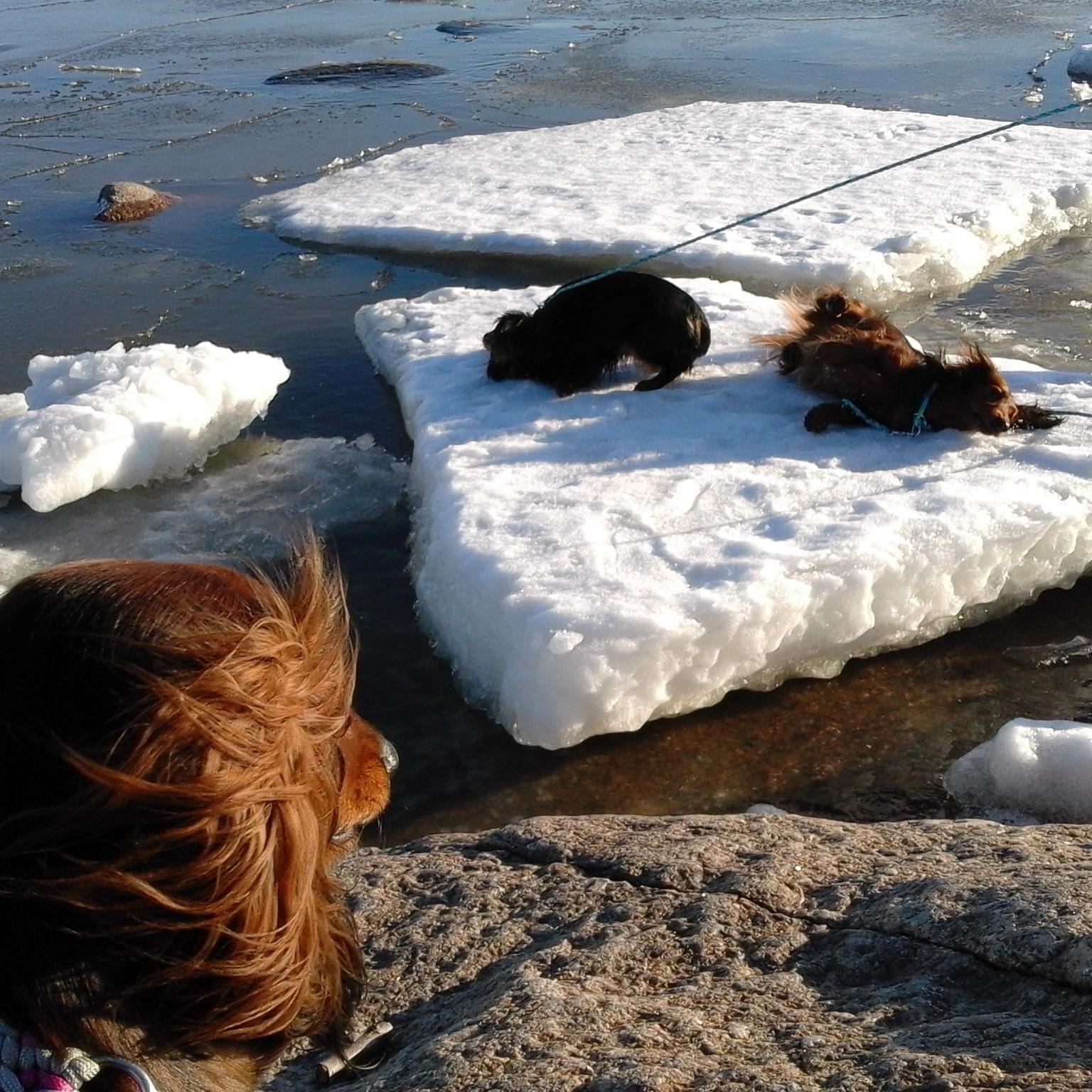 Koirat jäälautalla tuplataluttimessa