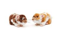 Vaaleanruskea hamsteri