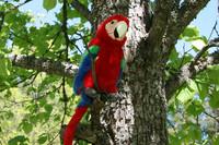 Punainen papukaija