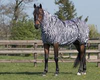 QHP Ihottumaloimi Zebra