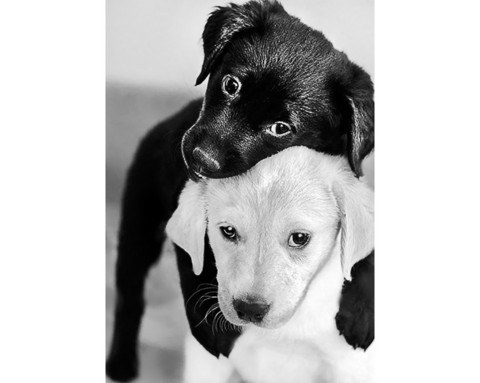 Collection D'Art - Black and white puppies, Timanttimaalaus, 19x27cm