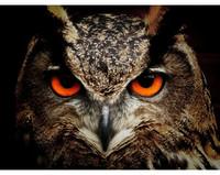 Collection D'Art - Owl (K)(N), Timanttimaalaus, 38x27cm