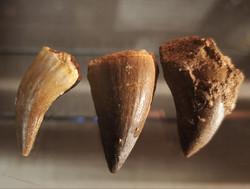 Mosasauruksen hammas, n. 25-30 mm