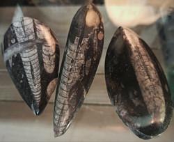 Oikosarvi, fossiili 75-100 mm