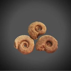 Ammoniitti fossiili, koko n. 25/35 mm