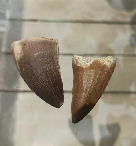 Mosasauruksen hammas, n. 40 mm