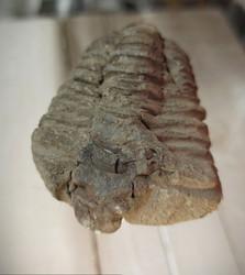 Trilobiitti 75/55/25 mm