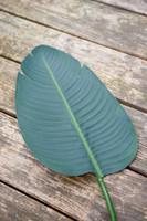 Strelitzia Leaf M