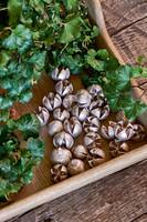 Beech Nut Decoration silver
