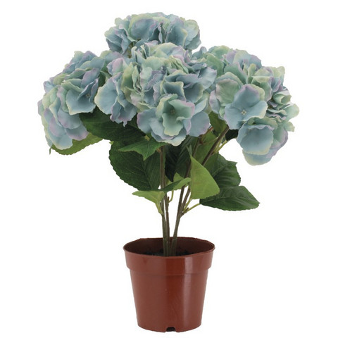 Hydrangea in a pot Light blue