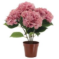 Hydrangea in a pot Pink