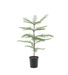 Pine seedling in a pot 80cm