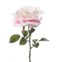 Rose 36cm White