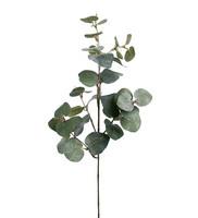Eucalyptus med is 70 cm