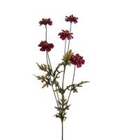 Coreopsis 75cm