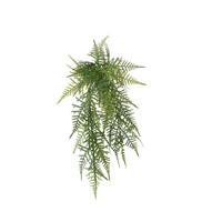 Asparagus 40 cm