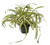 Chlorophytum 35cm