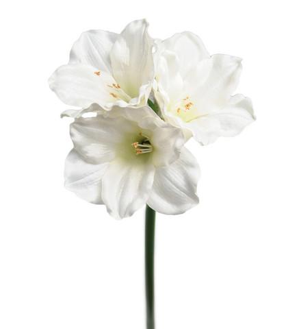 Amaryllis 65 Valkoinen