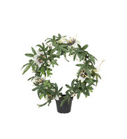 Passiflora 40 cm
