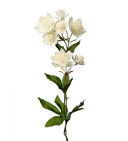 Astrantia White 50 cm