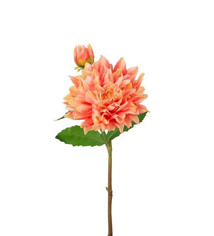 Dahlia Aprikos 70 cm