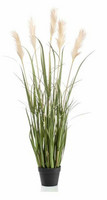Pampa grass in a pot 130cm