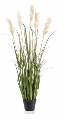 Pampa grass in a pot 130cm