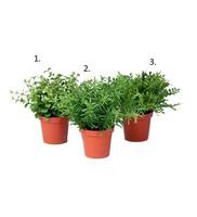 Mini plant in a pot 15 cm (number 1)