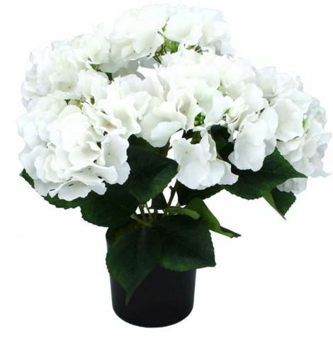 Hydrangea in a pot White