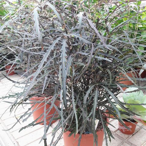 Plerandra elegantissima isoliuska-aralia
