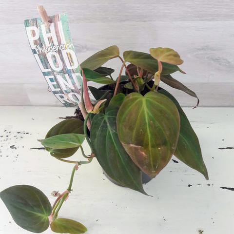 Philodendron scandens 'Micans' herttaköynnösvehka
