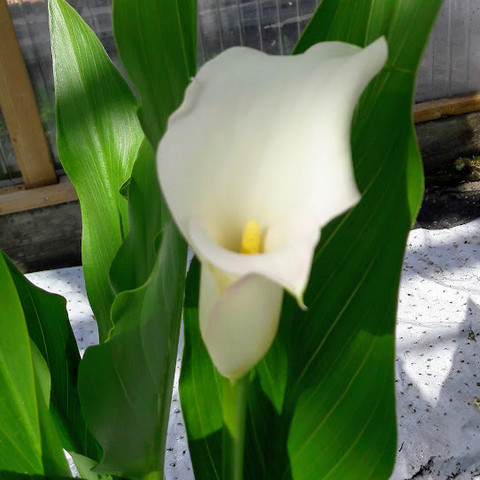 Kallan eli huonevehkan mukulat valkoinen 3 kpl