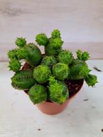 Euphorbia globosa pallotyräkki