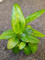 Drimiopsis maculata kiiltotäplikki