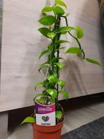 Vanilla planifolia vanilja orkidea