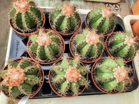 Melocactus matanzanus melonikaktus