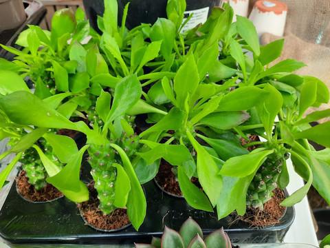 Euphorbia Monadenium Guentheri taitantyräkki
