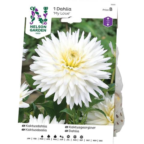 Daalia, Kaktus-, My Love, valkoinen