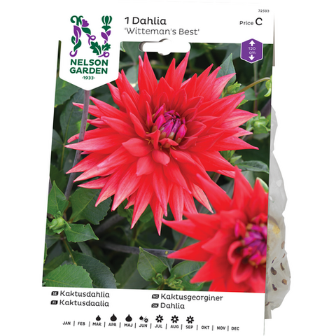 Daalia, Kaktus-, Wittemans Best, punainen