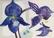 Sininen orkidea