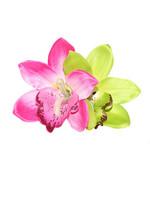 Gigi Orchid