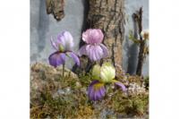 Agiart: Iris (Iiris) -stanssisetti
